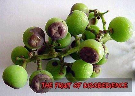 black_rot-grape_bunch1